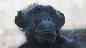Nový šimpanz v Plzni! Geneticky cenná Brigitte má jasný úkol: Zplodit s Baskem potomka