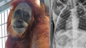 Orangutanka měla v sobě 74 střel: Kvůli bolesti se nemohla starat o mládě, které zahynulo