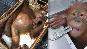 Na letišti zatkli zdrogovaného orangutana, vezl ho podezřelý turista
