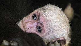 Zasloužilá maminka Lucie rodila už podesáté! V pražské zoo přivedla na svět guerézí miminko