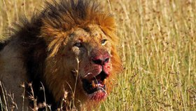 Zbyla jen lebka a kus kalhot. Pytláka nosorožců napadl slon a sežral lev