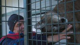 Puma napadla holčičku (3): Její chovatel se teď svými šelmami chlubí v zahraničí
