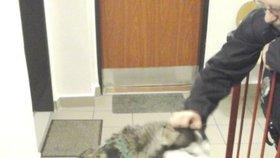 Husky zámečníkem: Pejsek pomohl své majitelce zpět do bytu