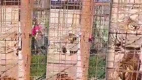 Tygr napadl návštěvnici miniZOO! Neopatrná žena strčila ruku do klece