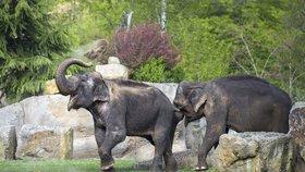 Sloní dáma Gulab oslaví o víkendu šedesátiny. Zoo Praha na sešlosti zavzpomíná