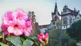 Pohádkový Průhonický park: Nenechte si ujít kvetoucí rododendrony!