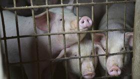 Vepřové maso zdraží, varují experti. V Číně umírají miliony prasat na africký mor
