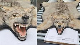 Celníci v Karlových Varech zůstali v šoku: U pasažéra v kufru našli vlka!