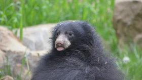 Unikát ve zlínské zoo: Medvídek pyskatý už skotačí ve výběhu!