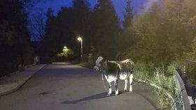 V Praze někdo přivázal krávu Milku ke svodidlu. Osamocené zvíře našli strážníci