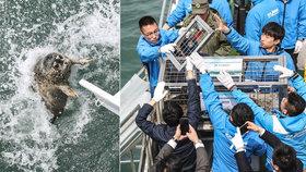 Desítky tuleních mláďat živořily na pytláckých farmách: Po záchraně je pustili zpět do přírody!