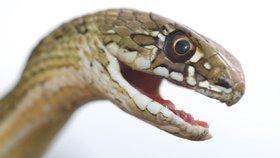 """""""Největší skrytá krize."""" Lékaři promluvili o tisících mrtvých po hadích uštknutích"""
