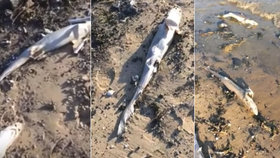 Na pláži ležely stovky mrtvých žraloků: Zaživa jim uřízli ploutve a hodili je zpět do moře