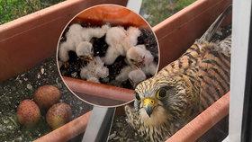 Opeřená radost za oknem: Poštolky vyseděly v truhlíku v 6. patře pět ptáčat