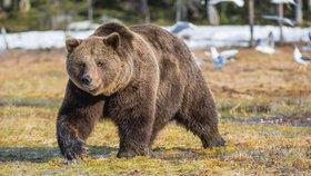 Medvědovi se už do Rakouska nechce: Zalíbilo se mu u Břeclavi a usadil se v lese