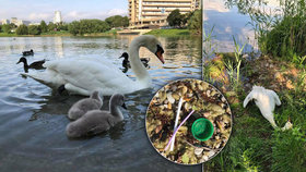Plasty nezabíjí jenom velryby a delfíny: Labuťátka kvůli odpadkům přišla o mámu