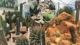 """V Botanické zahradě vystavují  """"suchomily"""": K vidění je sukulent, který vypadá jako koňské lejno"""