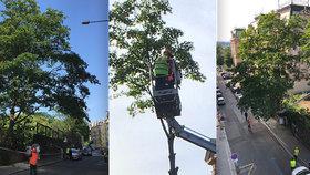 Kácení vzrostlých stromů na Vinohradech? Podle odbornice zkáza pro zvířata i lidi