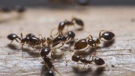 Jak se zbavit mravenců? Pomůžou ocet, bylinky nebo křída! Jde to i bez chemie