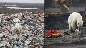 Vyhublá medvědice ušla 1500 kilometrů: Jídlo hledá v centru velkoměsta i na skládce