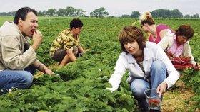 """""""Trpké ovoce"""" brexitu: Britům zoufale chybí lidi, kteří by sklidili úrodu"""