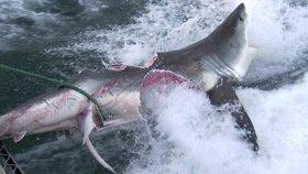 Krutý zápas žraloků kanibalů: Trhali ze sebe maso, jeden druhému vykousl břicho