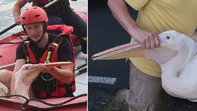 Pelikán vyrazil na výlet z plzeňské zoo, na přehradě u okraje města ho pak chytali hasiči a zvířecí záchranáři