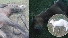 Otřesné utrpení: Kvůli hlouposti lidí během pár dní zemřelo několik koní a koz - krmili je kolemjdoucí