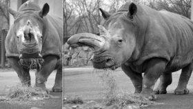 Smutek v Ústí: Zoo musela utratit nejstarší nosorožčí samici Zambu (†48)!