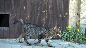 Velký zátah na toulavé kočky: V Řepích je odchytí, vykastrují a vrátí zpět