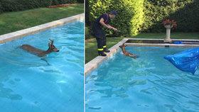 """Vedro, že i srnci skáčou do bazénu! Na hasiče chrčel a """"tasil"""" na ně parůžky"""