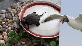 Na Moravě našli mládě vyhynulé želvy! Stačilo málo a slupl ho racek