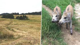 Lidé popsali popravu selátek na Plzeňsku: Zmasakroval je traktorem na třikrát!