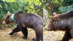Medvědice Ema zaskočila ochranáře, kteří ji chtěli dva roky sledovat: Servala si obojek