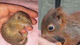 Malého syslíka odchovaly pražské veverky! Ohroženému mláděti pomohly s návratem do přírody