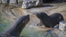 Lachtánek (3 měs.) z pražské zoo: V ploutvích má prsty jako šelma! Jméno mu vyberou čtenáři Blesku