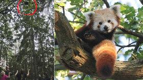 Panda je zpět: Uprchlíka objevil na stromě pejskař, zvíře je v pořádku