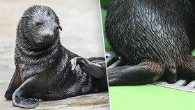 Co jste o lachtánkovi z pražské zoo nevěděli: K čemu má ocásek? Je lysý? Čím slyší?