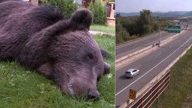 Srážka auta se zvěří skončila tragicky: Medvěd skončí jako vycpanina