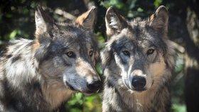 Vlci zaútočí na děti, obává se senátor. Ochránci: Krásné a vzácné zvíře