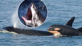 Lidožraví žraloci opouští oblíbené rejdiště. Od břehů Afriky prchají kvůli kosatkám
