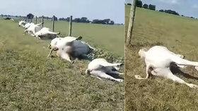 """Šokující video: Farmář na pastvě našel """"zástup"""" mrtvých krav a telat! Měly popálená břicha"""