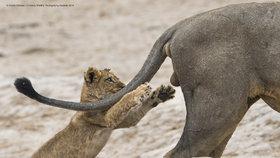 Nejvtipnější fotka přírody: Hravé lvíče uchvátilo porotce soutěže