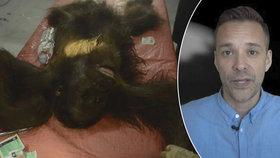 Mladého orangutana postřelili 130krát a pak ho posekali mačetou: O jeho život bojoval mladý veterinář
