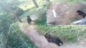 Týrání zvířat přímo v olomoucké zoo? Medvědi ve výběhu útočí na vlčici, děsí se návštěvníci