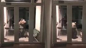 Medvěd na služebně vyděsil policisty! Chtěl nahlásit zločin?