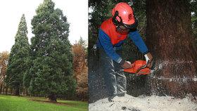 Miliardář dal pokácet 176 let starý památný strom: Bylo to nechtěně, hájil se