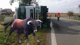 Po nehodě kamionu na Znojemsku utekli býci: Jeden z nich je pořádně rozzuřený