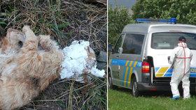 Tyran kočku brutálně umučil k smrti: Našli ji u Kyjova se zasádrovanou hlavou!