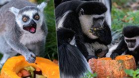 VIDEO: Zvířata v Zoo Praha si užila Halloween: Guerézy si pošušňaly na lahůdkách z dýní